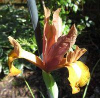 "Dutch Iris ""Autumn Princess"""
