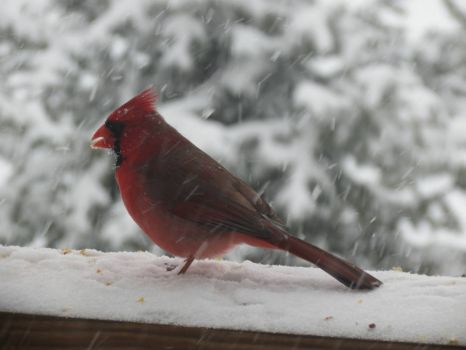 Cardinal on my Porch Railing
