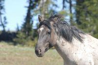 "PRYOR MOUNTAIN HORSE 2006  ""FLINT""   SHAMANS  SON RAISED BY CLOUD"