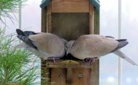 collared doves, dining together