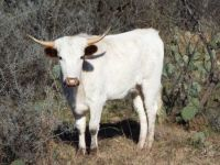 Young Longhorn with Earmuffs