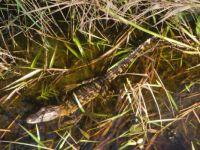 Trip thru the swamp         Baby alligator