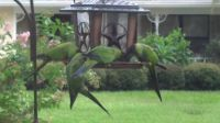 Invasion of the Black Nandy Parrots