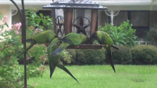 Invasion of the Black Nandy Parrots
