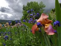An Iris Alone