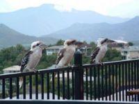 Our Kookaburra family
