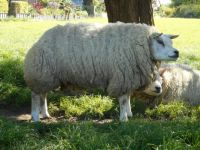 Our favourite ewe in our flock