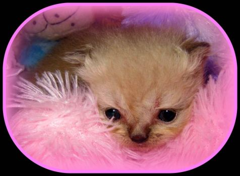 Pinknblack's choice of pet for the day, a cute and cuddly kitten