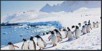 ~Adélie penguins ~