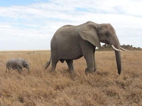 Mama Elephant and Her Calf