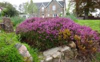 Heather - Scottish Highlands