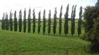 Waikato farming country - Lombardy poplars