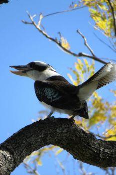 Kookaburra - I caught him having a laugh!!