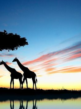 Giraffes against the sunrise