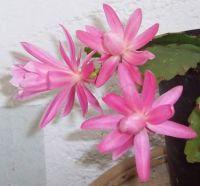 Epi pink 3 flowers 5.12