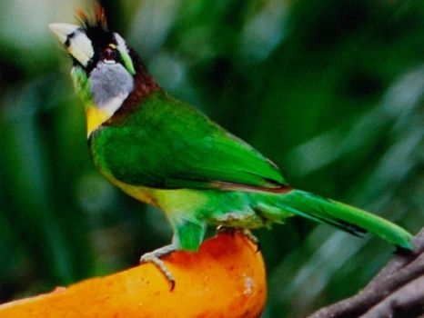 fire tufted barbet.