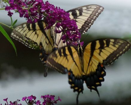 A pair of Eastern Tiger Swallowtails butterflies