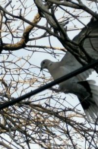 Time to Build-A Dove in a Thorny Tree
