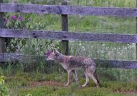 visiting coyote