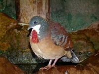 Bartlett's Bleeding Heart Dove