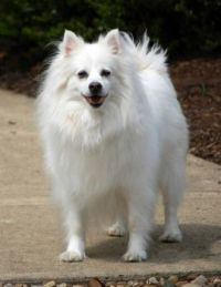 Coconut, my American Eskimo Dog