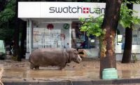 A runaway hippo on the loose in the streets of Tbilisi, Georgia. June, 14 2015