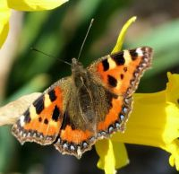 small tortoiseshell on daffodil
