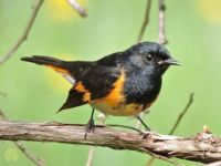 More Birds: Redstart