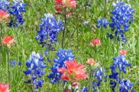 Texas Flora - Bluebonnets and Indian Paintbrush