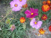 Cosmos & Marygolds