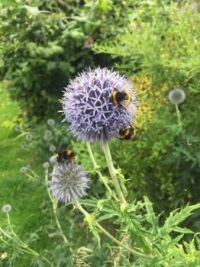 Bees on my thistle