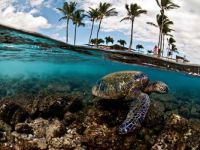 Turtle in underwater Hawaii Pic