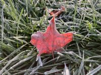 Frosted Maple Leaf