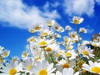 Spring Daisy