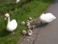 Mum and Dad Swans with 9 cygnets 23.05.2013