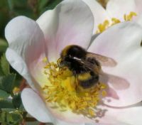 buff-tailed bumblebee on dog rose (grote aardhommel op hondsroos)