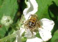 honeybee on bramble (honingbij op braam)