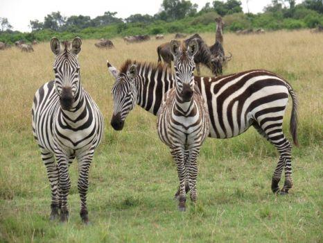 Hello zebras!