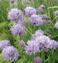 Allium schoenoprasum, Pažitka pobřežní