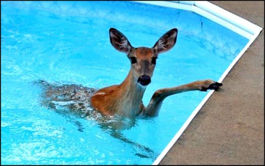 Write a Caption!  deer in pool
