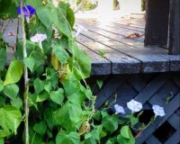 Royal blue, pink and powder blue Morning Glories