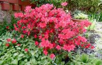 The best my azalea has flowered.