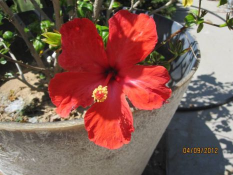 This hibiscus was also rescued.