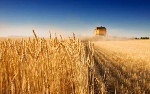 Harvesting the grain