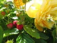 Golden Celebration with wild strawberries
