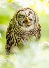 Barred Owl eating crawfish for dinner - 1