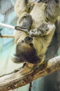 Two-toed sloth facts for kids