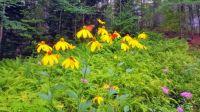 Summer Monarchs
