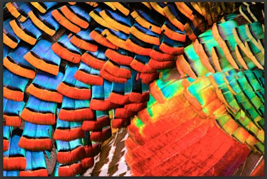 feathers of a ocellated turkey!!!!