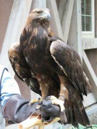 Non-releasable Golden Eagle, Anchorage, Alaska